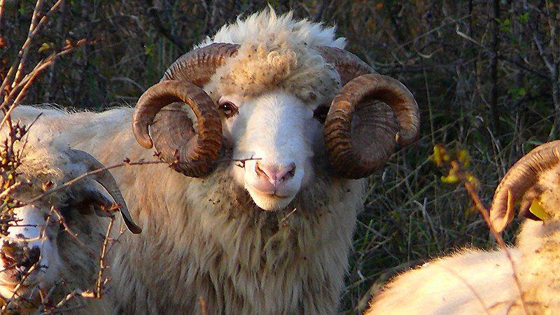Mioriţe normale, ciobani şi jurnalişti nebuni