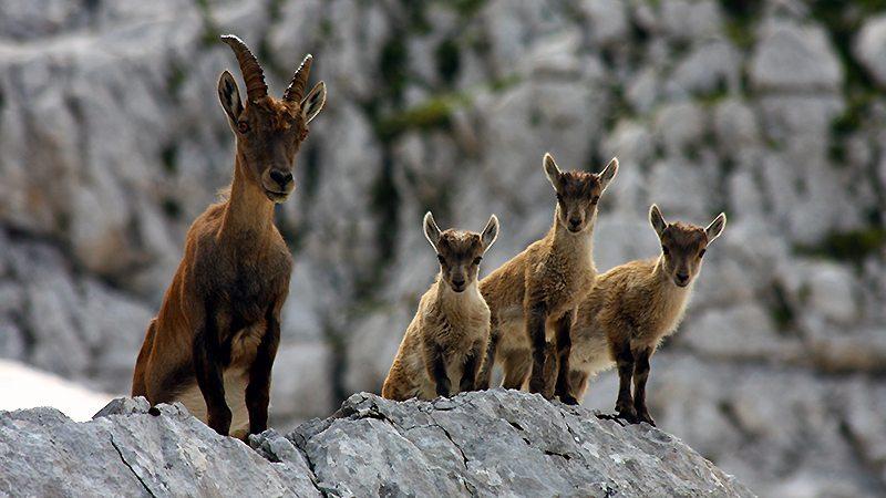 Capra ibex cu trei iezi